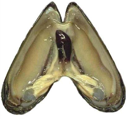 Blue-mussel_catcher