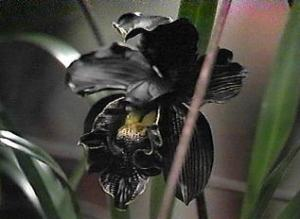black_orchid1